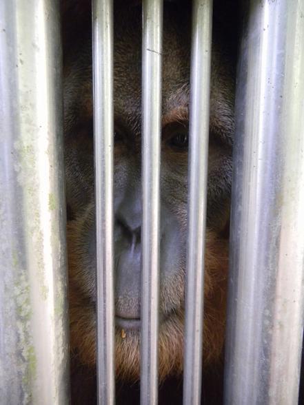 Melaka Zoo orangutans need help