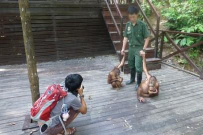 Shangri-La's exploitation of orangutans exposed