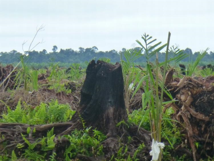 FOTO Press Statement – BLD Plantation continues to destroy Sarawak peat forests