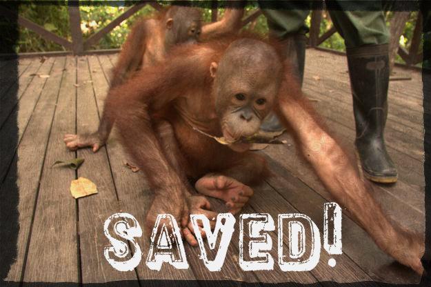 Victory for the orangutans in Sabah's Shangri-La Hotel!