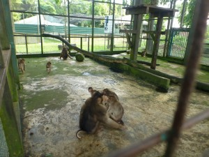 MACAQUES SHORT TAIL. EIGHT (2)