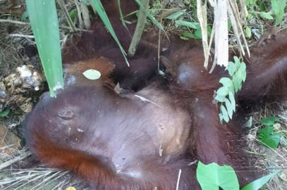 Orangutan attack at Sepilok
