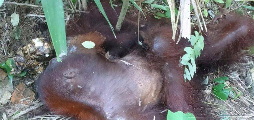 Orangutan attack at Sepilok