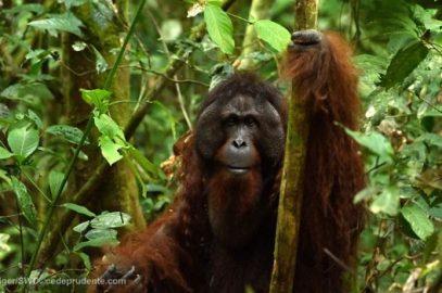 Was Sepilok orangutan's release a success?