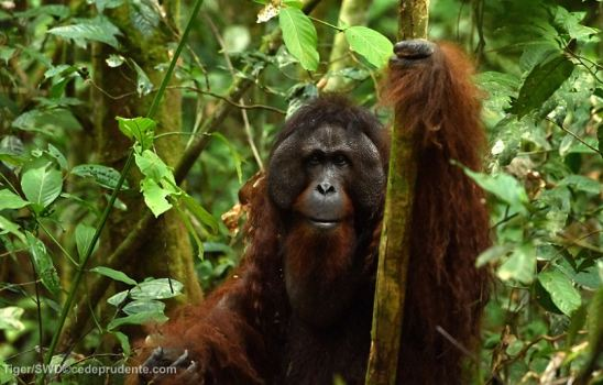 When greed rules – Sepilok orangutan release disaster
