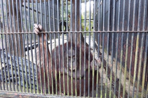 Poor treatment for orangutans at Kemaman Zoo continues