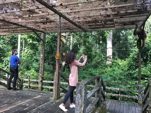 Perilous orangutan tourism resumes at Sepilok amid COVID-19 pandemic