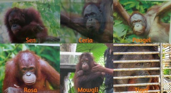 No transparency from Sabah wildlife authorities on welfare concerns of 6 Sepilok orangutans