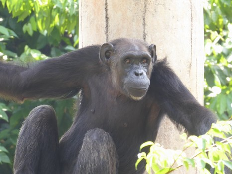 Melaka Zoo failed to show its lone chimpanzee compassion – and now wants more orangutans