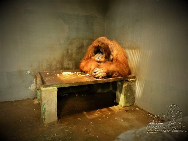 Captive breeding of orangutans is not conservation