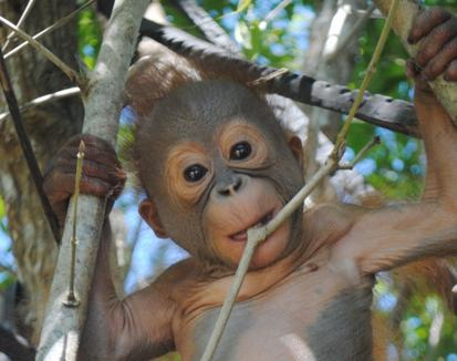 What happened to the mothers of two orphaned Sepilok orangutans?