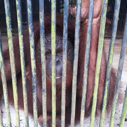 In pictures: Years of appalling treatment of Malaysian orangutans at Kemaman Zoo