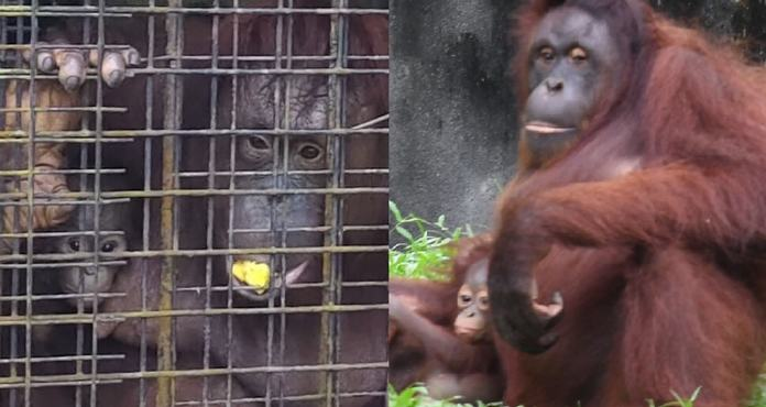 FOTO condemns Taiping Zoo's breeding of orangutans