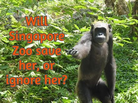 Will Singapore Zoo stop Coco the chimp's suffering?
