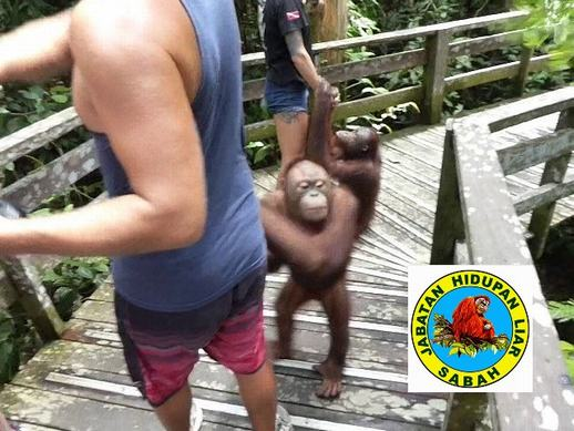 Wildlife authorities not transparent about orangutans at Sepilok, but asks the public to donate to the state-owned rehab centre