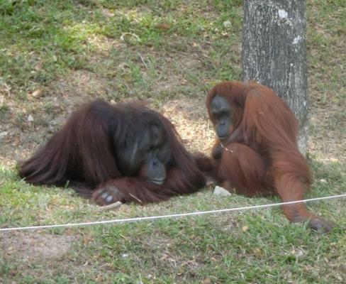 Treatment of Bornean orangutans at Zoo Negara distasteful