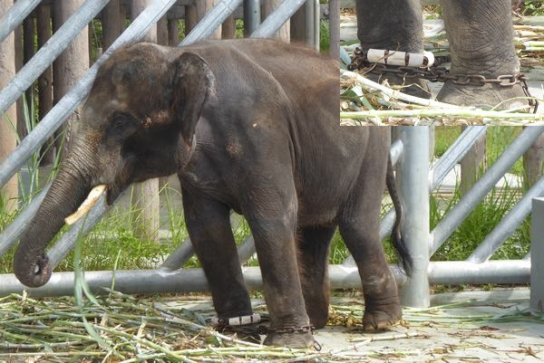 Appalling Video of Elephant in Chains at Kemaman Zoo Rings Alarm Bells Again
